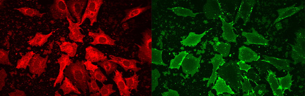 CHO cells fused with Fuse-It-B (red) and subsequent binding of avidin-alexa488 (green)